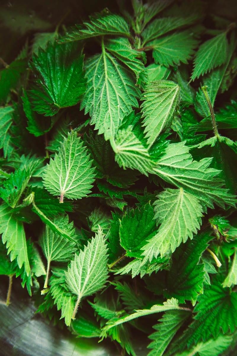 nettle leaves zoomed