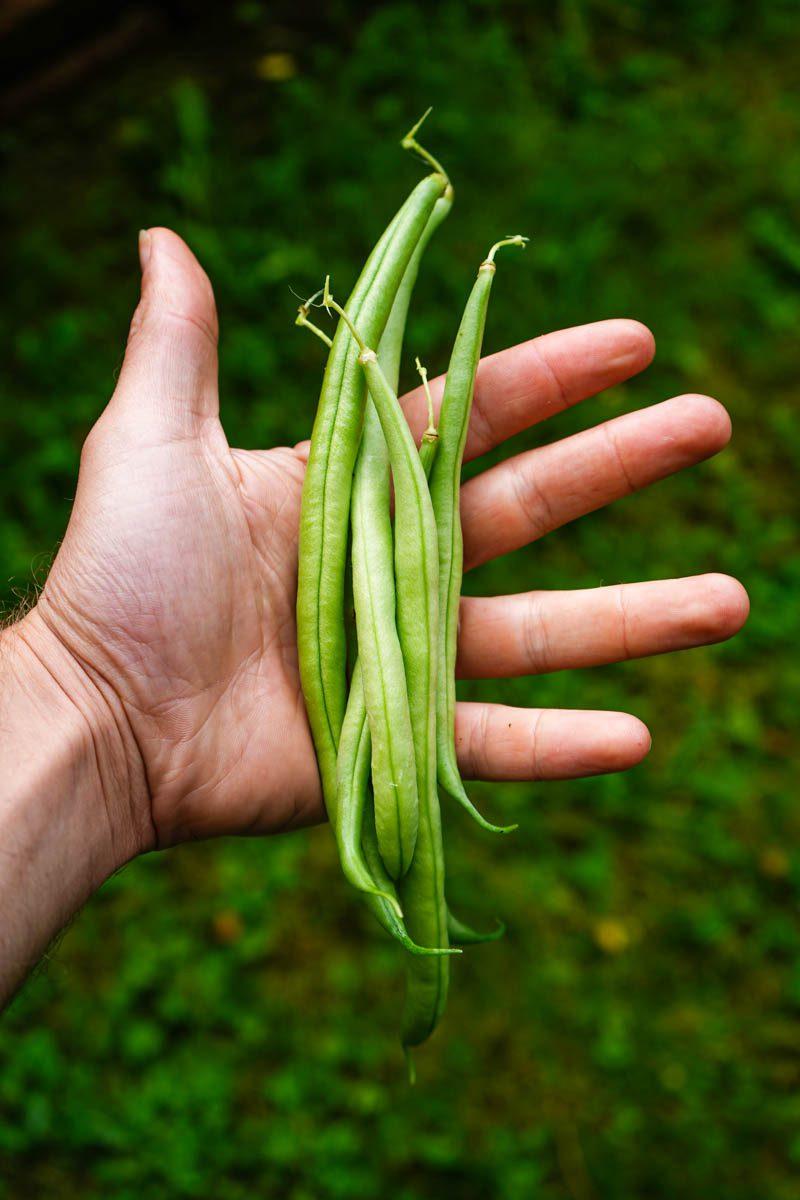 hand holding green beans